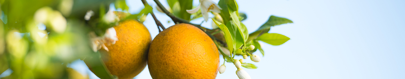 image of oranges hanging from a tree with a blue sky background